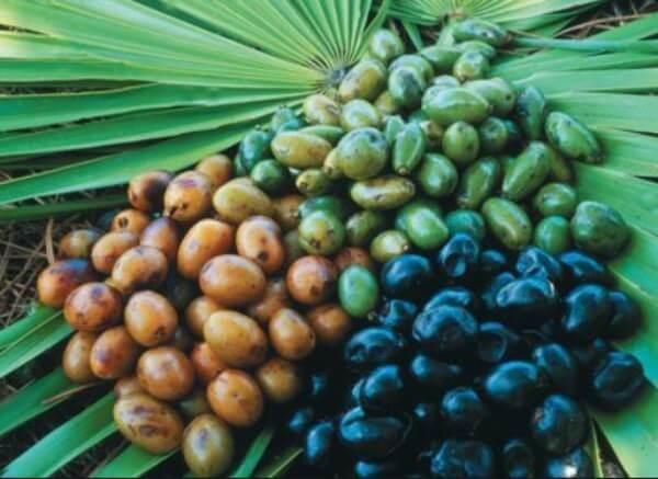 Sao Palmeto (palmier nain américain)